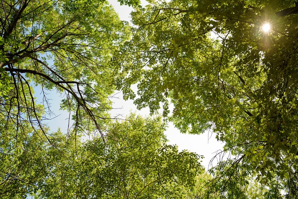 View of the trees above this park wedding ceremony